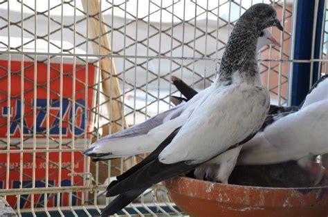 uae tipplers pigeon club home facebook