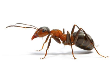 ants individual  colony superorganism leadership