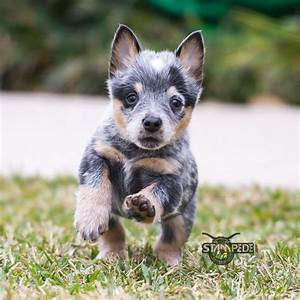 Australian Cattle Dog | Blue Heeler | Puppy | Dogs ...