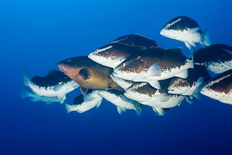 nassau grouper fish countries many take does save groupers evolved clusters mating aggregations chances increase tight success those same form