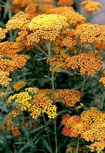 achillee planter et cultiver ooreka With modeles de rocailles jardin 4 gypsophile planter et cultiver ooreka