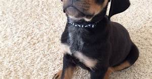 Our baby Jax.. Rottweiler lab mix | puppies | Pinterest ...