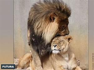 fond d39ecran lion lionne calins du matin With plan de maison original 14 fond decran lion blanc