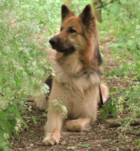 shepherd german dog history shepherds breed germany puppies long origins dogs breeds gsd tudman insight brief development into coat cute