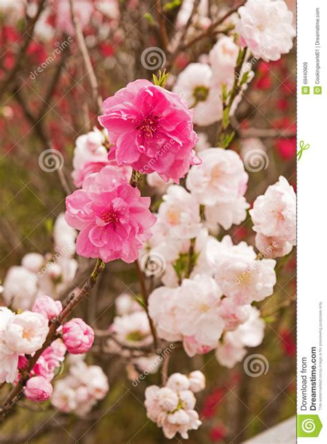 Spring Sakura Cherry Blossoms Pink Flowers Stock Image