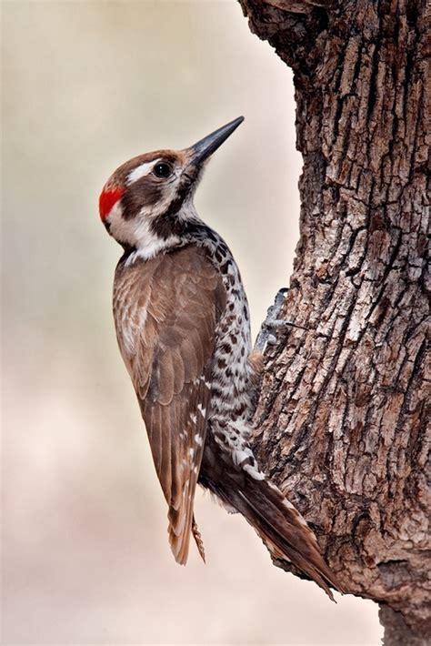arizona woodpecker wikipedia