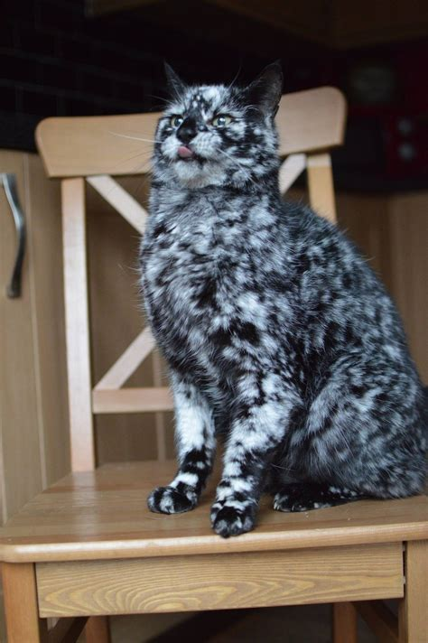 can cats see color or black and white scrappy born a black cat now turning white due to vitiligo