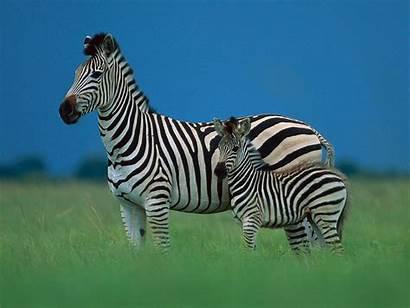 Zebra Wildlife Desktop Background Backgrounds Wallpapersafari