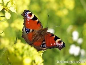 Bedeutung Schmetterling In Der Wohnung : tagpfauenauge schmetterling in der natur ~ Watch28wear.com Haus und Dekorationen