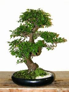 Handbuch der ulmengewachse for Garten planen mit bonsai lebensbaum kaufen