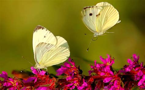 Butterfly Wallpapers Top Wallpaper Desktop