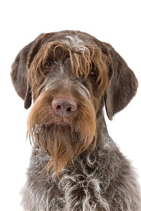 griffon german wirehaired pointer shedding 25 best ideas about wirehaired pointing griffon on