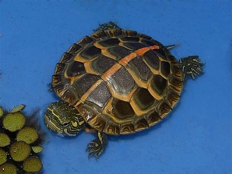 what color is a turtle high colored southern painted turtles for sale from the