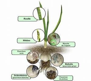Culture De L Ail : parasites et maladies de l 39 ail traitements bio ~ Melissatoandfro.com Idées de Décoration