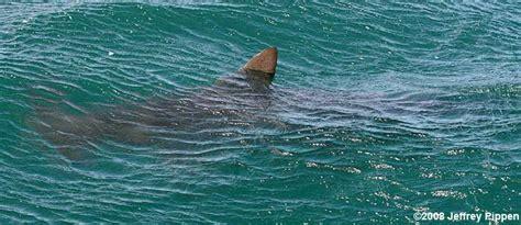scalloped hammerhead shark sphyrna lewini