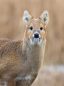 Chinese water deer - Strumpshaw Fen - Strumpshaw Fen & the ...