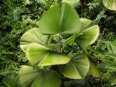 planting fan palm trees rare licuala grandis ruffled fan palm live indoor tree ebay
