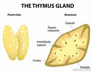 What Is A Thymosin   With Pictures