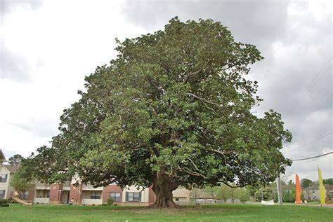 aetn champion trees