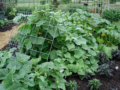 growing cucumbers on a trellis growing cucumbers bonnie plants