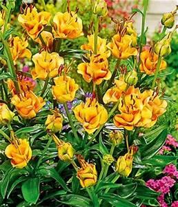 Glücksklee Zwiebeln Kaufen : lilien zwiebeln online kaufen bestellen bei baldur garten ~ Orissabook.com Haus und Dekorationen