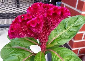 Celosia An Annual Plant That Reproduces Well