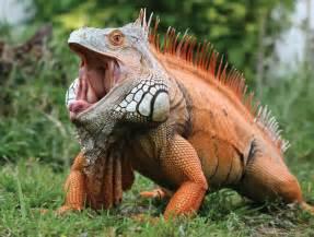 Reptile Lizard Iguana