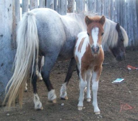 breeding miniature horses horse pony vs mare difference foal things during