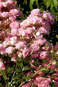 rosiers paysager planter et cultiver ooreka With modeles de rocailles jardin 4 gypsophile planter et cultiver ooreka