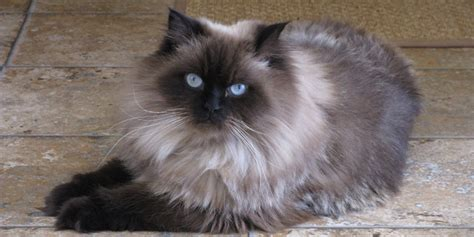 Himalayan Cat  Information, Characteristics, Facts, Names