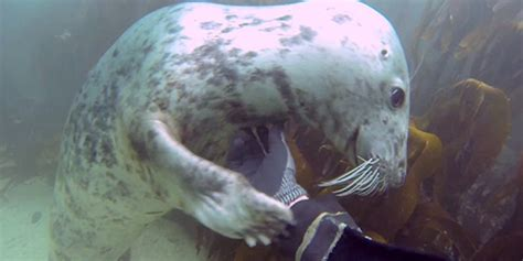 underwater seals love  belly rub    huffpost