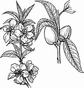 Almond Plant Clip Art at Clker.com - vector clip art ...
