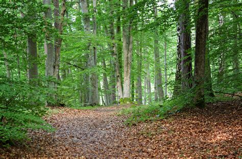 Path in the dense forest free image