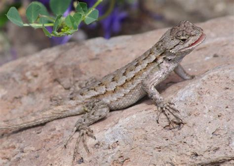 Backyard Reptiles by Western Fence Lizard Our Backyard Reptiles Of Southern