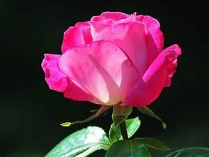 Bilder Blumen Kostenlos Downloaden : bilder hintergrundbilder herunterladen kostenlos bild 1024 x 768 blumen ~ Frokenaadalensverden.com Haus und Dekorationen