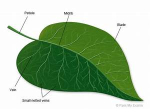The Structure Of The Leaf And Photosynthesis