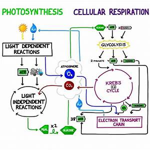 Cellular Respiration Diagram For Kids