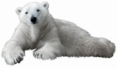 Polar Bear Clip Clipart Animals Pngimg Link