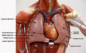 Human Chest Cavity Diagram