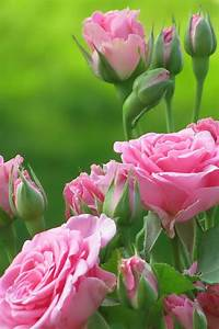 Cute Pink Flowers iPhone 4 Wallpaper | 4iPhoneWallpapers ...
