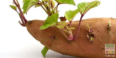 culture patate douce en pot 28 images faire pousser une patate douce dans l eau patate