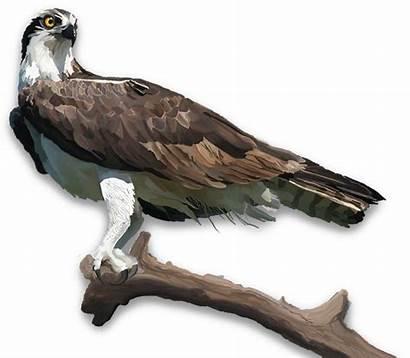 Bald Eagle Osprey Unf Edu