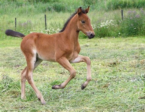 foal horse horses foals young feeding mare weaning stall creep hay nursing growth sound breeding nutrition duncan robin forage