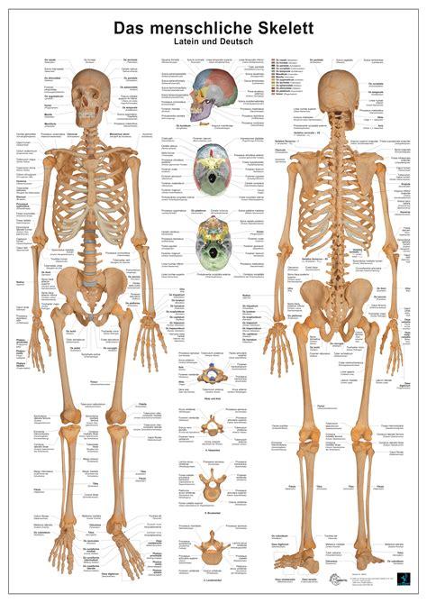 das menschliche skelett europa lehrmittel