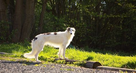 borzoi wolfhound  fun facts  introduce    breed