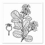 Shrub Drawing Shrubs Plant Trees Sugar Getdrawings sketch template