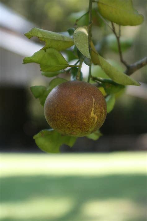 rust mite citrus damage