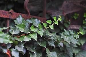 Wie Schnell Wächst Efeu : efeu wie giftig ist er wirklich ratgeber gesundheits guide ~ Orissabook.com Haus und Dekorationen