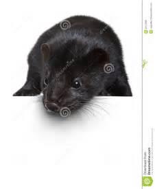 Black American Mink