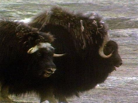 musk oxen  wolves